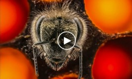 "TED Video – ""A thrilling look at the first 21 days of a bee's life"""